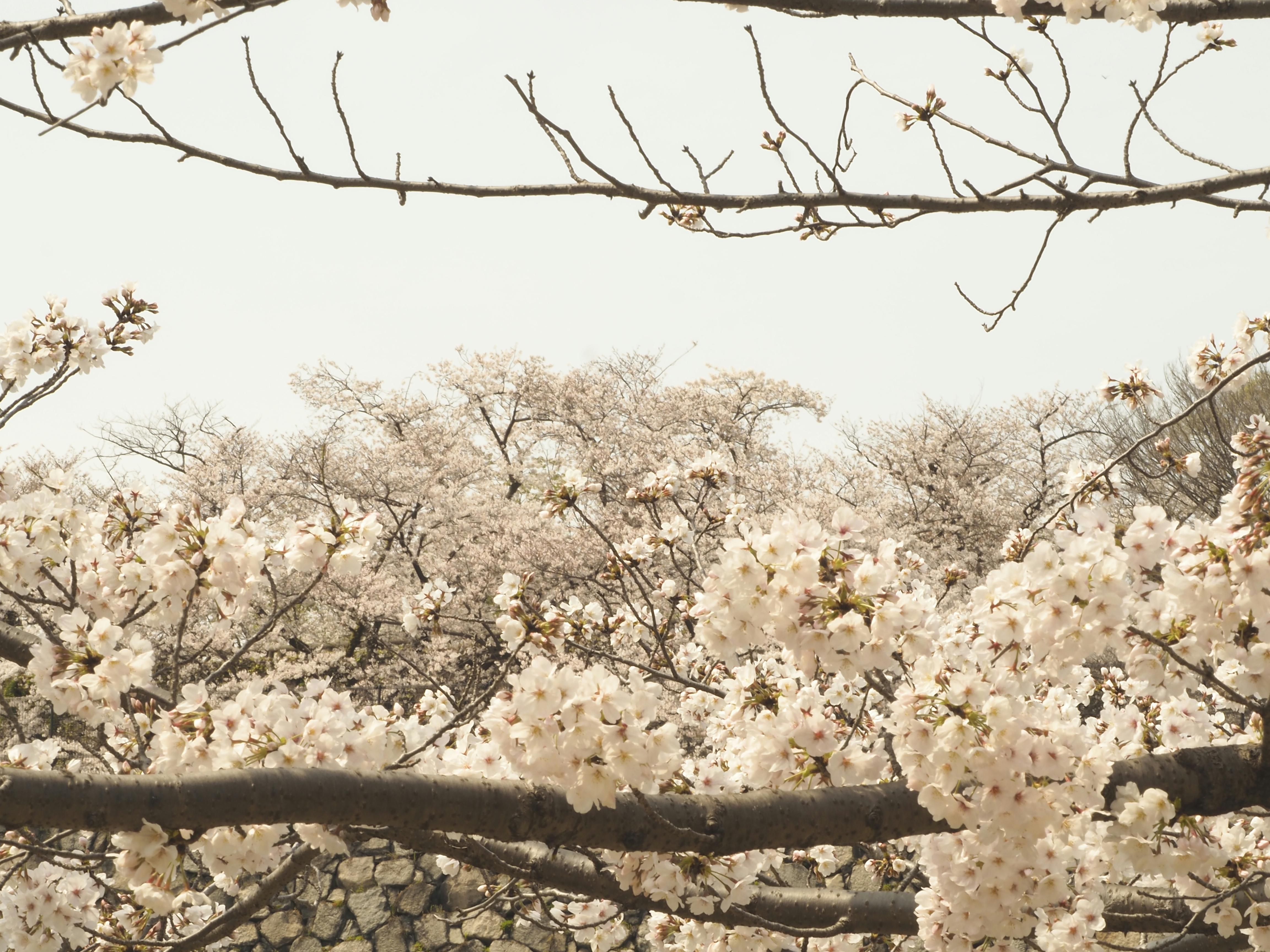 """""""cerisiers"""" de nature empruntée"""